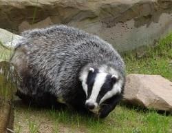 badger-44204_640